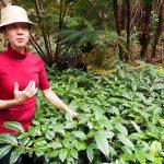 Eva Lee grows tea in the rain forest on the Big Island of Hawaii
