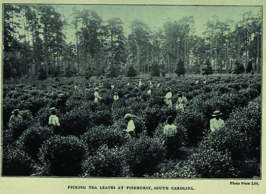 Dr Sullivan's Pinehurst Tea Farm in Summerville, SC