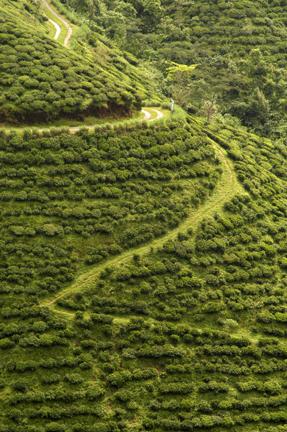 darjeeling garden