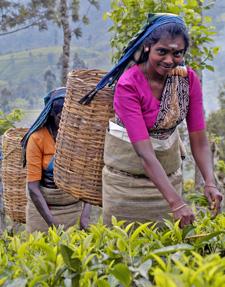 Sri Lanka woman picking tea