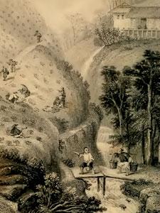 China tea garden