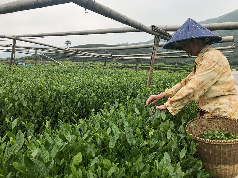 Picking tea in a Chinese tea garden